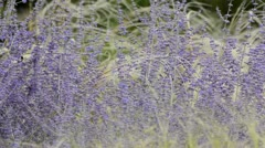 Russian sage (Perovskia abrotanoides) and feather grass (Stipa barbata) Stock Footage