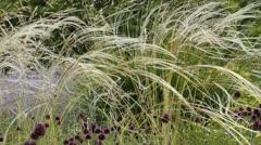 Feather grass (Stipa barbata) Stock Footage