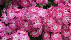 Garden phlox (Phlox paniculata 'Eva Foerster') Stock Footage