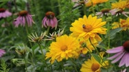 Stock Video Footage of False sunflower (Heliopsis helianthoides var. scabra 'Venus'), purple cone
