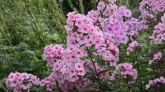 Garden phlox (Phlox paniculata 'Landhochzeit') Stock Footage