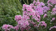 Stock Video Footage of Garden phlox (Phlox paniculata 'Landhochzeit')