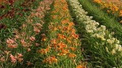 Day lilies (Hemerocallis) Stock Footage