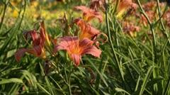 Day lily (Hemerocallis Pink Damask) Stock Footage