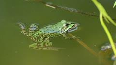 Edible frog (Rana esculenta) - stock footage