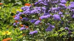 Floss flower (Ageratum houstonianum) - stock footage