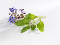 Borage with flowers - stock photo