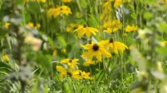 Stock Video Footage of Shiny cone flower (Rudbeckia nitida 'Juligold')