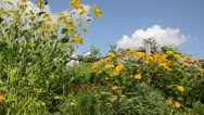 Shiny cone flower (Rudbeckia nitida 'Juligold') and false sunflower (Heliopsis Stock Footage