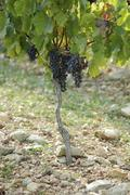 Merlot grapes on the vine (France) Stock Photos