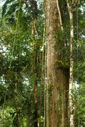 Stock Photo of Huge Vines In Ecuadorian Yasuni National Park