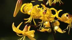 Lily (Lilium leichtlinii) Stock Footage