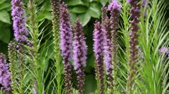 Meadow blazing star (Liatris ligulistylis) Stock Footage
