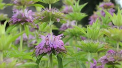 Lemon bee balm (Monarda citriodora) Stock Footage
