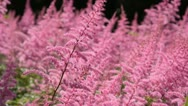 Stock Video Footage of Garden astilbe (Astilbe arendsii)