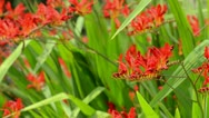 Stock Video Footage of Montbretia (Crocosmia)