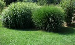 Spherical grass plants Stock Photos