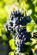Syrah grapes, Mas Estela Estate, Costa Brava, Spain - stock photo