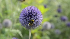 Globe thistle (Echinops) and bumble bee (Bombus) Stock Footage