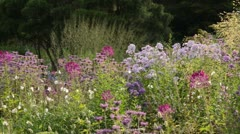 Spider flower (Cleome spinosa), phlox (Phlox) and bee balms (Monarda) Stock Footage