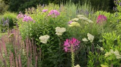 Spider flower (Cleome spinosa), yarrow (Achillea), sage (Salvia) and phlox Stock Footage