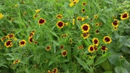 Stock Video Footage of Golden tickseed (Coreopsis tinctoria)