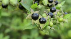 Deadly nightshade (Atropa bella-donna) Stock Footage