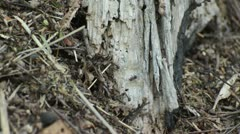 Ants on an anthill - stock footage