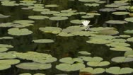Stock Video Footage of White water lily (Nymphaea alba)