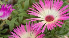 Midday flower (Dorotheanthus bellidiformis) - stock footage