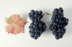 Stock Photo of Black grapes, variety Domina, with leaf