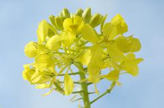 Yellow mustard flower in the open air Stock Photos