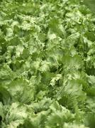 Iceberg lettuce in the field - stock photo
