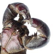 Vinegaroon scorpion Stock Photos