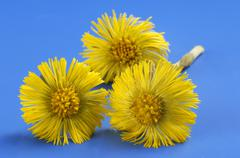Coltsfoot flowers - stock photo