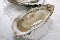 Fresh oysters, opened, with coarse salt Stock Photos