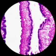 Cilliated epithelium tissue Stock Photos