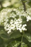 Elderflowers (close-up) - stock photo