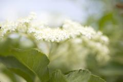Elderflowers (close-up) - stock photo