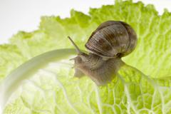 Snail on lettuce leaf - stock photo
