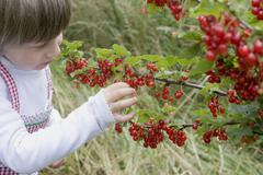 Child picking redcurrants from bush Stock Photos