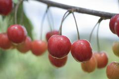 Cherries on branch - stock photo