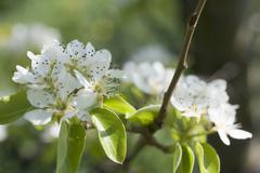 Pear blossom on branch - stock photo