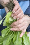 Dirty hands holding fresh spinach plants Stock Photos