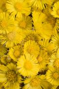 Coltsfoot flowers (full-frame) - stock photo