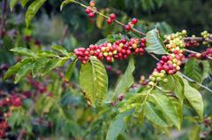 Ripe coffee beans Stock Photos