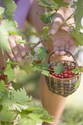 Woman picking redcurrants Stock Photos