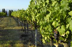 Merlot grapes on the vine, Villa Pillo Estate, Tuscany, Italy - stock photo