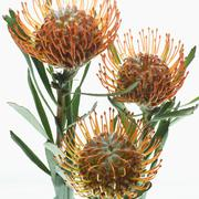 King Protea Flowers Stock Photos