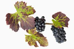 Black grapes with vine leaves Stock Photos